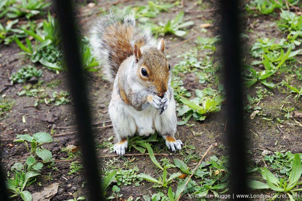 Écureuil parc St James Park Londres